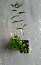 blechnum  chilensis