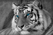 Framed Print - Black & White Bengal Tiger with Blue Eyes (Picture Wild Animals)