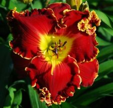 Daylily Seeds (Big Red Wagon x Gossip Girl) (7) Seeds