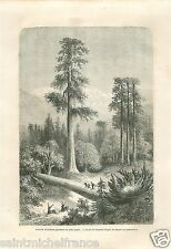 Landscape Taxodium Pins Géants Giant Sequoia California GRAVURE OLD PRINT 1860