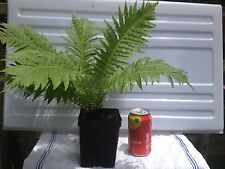 SILVER LADY TREE FERN blechnum gibbum, well rooted in quart conatiners.