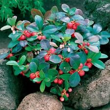 Wintergreen - 25 seeds-   50% off sale