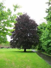 FAGUS SYLVATICA ATROPURPUREUM- COPPER BEECH HEDGE 5 SEEDS only 99p
