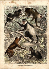 CASSELL'S MAMMALS -  THE GUEREZA & OTHER MONKEYS  - 150 YEARS OLD WOOD ENGRAVING