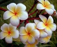 Plumeria Seeds/Flowers/Ladavan/Fresh 19 seeds