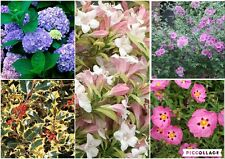 """5 quality mixed  MIXED SHRUBS in 10.5cm/4"""" pots"""