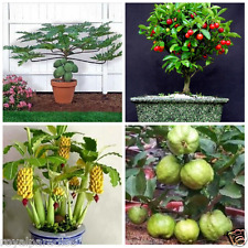 Bonsai Fruit Seeds Combo #9 - Papaya Cherry Guava Banana Seeds Pack