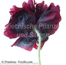 Mohn black Peony 80 frische Samen schwarz ** gefüllte Blüte **Papaver