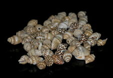 10X7-12X8MM NATURAL CONCH SHELL GEMSTONE SWIRLY SPIRAL LOOSE BEADS 50-60 BEADS