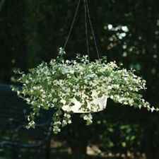 BACOPA SNOWTOPIA WHITE 10 MULTIPELLETED SEEDS REALLY BEAUTIFUL IN HANGING BASKET