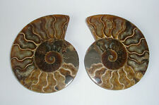 Large Polished Ammonite Fossil Pair. 9.5cm