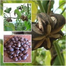 Plukenetia Volubilis 50 Seeds Sacha Inchi Sacha Peanut Mountain Peanut From Thai