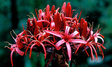 Gymea  or Giant Lily (Doryanthes excelsa) - 30 Fresh Seed