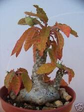 Dorstenia Foetida rare succulents caudex bonsai cacti cactus bulb seed 50 SEEDS