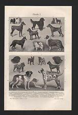 Lithografie1908: HUNDE. I/II. Schäferhunde Mops Spitz Dogge Pudel Jagdhunde