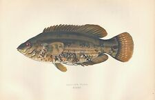 1878 ANTIQUE PRINT-COUCH BRITISH FISHES- BAILLON'S WRASS