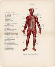 Old Print Muscles viewed from front anatomy medical book plate early 1900s