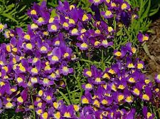 50 Pelleted Linaria Fantasy Blue Seeds Toad Flax FLOWER SEEDS