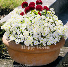 ROCK CRESS WHITE - Arabis Caucasica - 1000 seeds ROCKERY PERENNIAL FLOWER