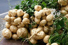 25 SEEDS OF MEXICAN SWEET POTATO SEEDS JICAMA YAM BEAN ORGANIC RARE HEIRLOOM.
