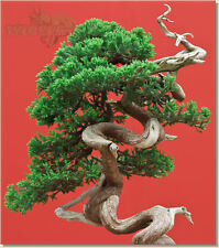CHINESE JUNIPER Bonsai Tree SEEDS * Juniperus Chinensis * Fresh Seeds