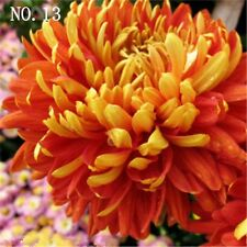 Red and yellow Chrysanthemum seed  24 kinds balcony decoration 30 seeds NO.13