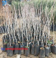 3 Pistacia Vera Plants Seedlings Turkish Antep Pistachios Plants, 2 YEARS OLD!