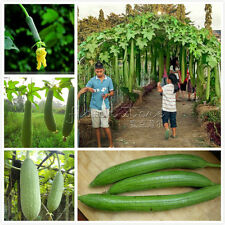 50 Loofah Sponge Gourd Seeds Grow Your Own TT359