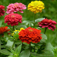 Amazing 400pcs Light Flor Mixed Zinnia Semillas Seed Multiple Layer  Mixed Color