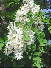 Robinie (Robinia pseudoacacia) 20 SEMI BONSAI * * fittizio ACACIA argento pioggia