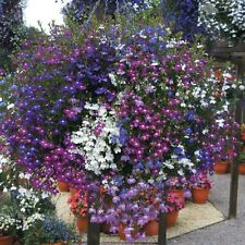 Lobelia Cascade Formula Mix Seed Annual Good for Baskets Five Strong Colours