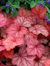"heuchera 'Georgia Peach' (Coral Bells) ~large leaves can measure up to 8"" across"