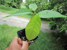 "12"" TALL Cacao Cocoa Chocolate Tropical Fruit Tree Plant BUY 2 GET 1 FREE SALE"