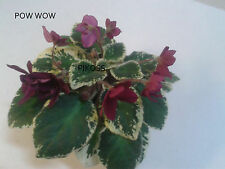 AFRICAN VIOLET-LEAF- POW WOW