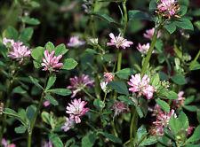 Perserklee 1.500 semillas de Trifolium resupinatum persas trébol