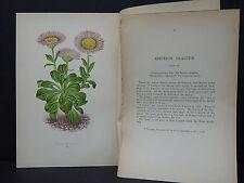 Botanicals Alpine Plants Wooster 1874 #39 Erigeron Glaucum
