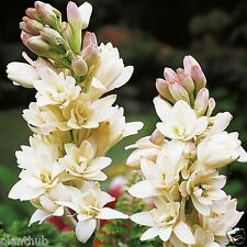 Flower Bulb RAJANIGANDHA - Double Flowering Tuberose Bulbs - Pack of 6 Bulbs