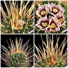 50 semi di Echinofossulocactus crispatus ,piante grasse,seeds cactus