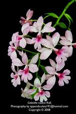 or055 Calanthe rubens , Orchid, Miniature plant , Rare orchid