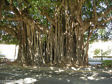 100+ Seeds of Ficus benghalensis Tree Indian banyan Best Bonsai Plant Aalamaram