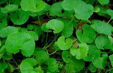 SEEDS 15 graines Herbe de la Longévité (Hydrocotyle Asiatica) CENTELLA SAMEN