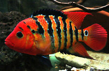 "3-4"" True Red Terror Cichlid Live Freshwater Aquarium Fish"
