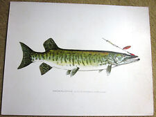Denton FISH Print MUSKALONGE w Fly 12 inches by 9 3/8 Vintage Art