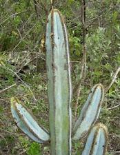Pilosocereus fulvilanatus @ cacti cactus seed 20 SEEDS
