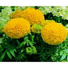 "African Marigold Seeds- ANTIGUA YELLOW - Great Border Flower 3"" Blooms- 25 Seeds"