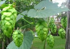 Grow organic NON GMO Humulus Lupulus Hops Vine Seeds Brew Beer Save Special ftp2