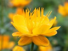 GLOBEFLOWER CHINESE * Trollius chinensis * GOLDEN QUEEN * SEEDS NEW!