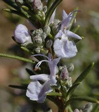 Huile Essentielle de ROMARIN 10ml (Rosmarinus Officinalis) pure 100% naturelle
