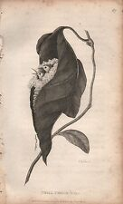 1808 ANTIQUE ORNOTHOLOGICAL PRINT - GEORGE SHAW- SMALL TAYLOR-BIRD