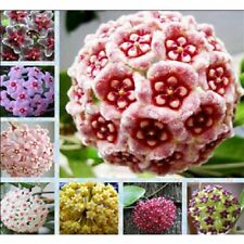 300 pcs/lot, Mixed Color, NEW Hoya seeds Home Garden Plant Seeds